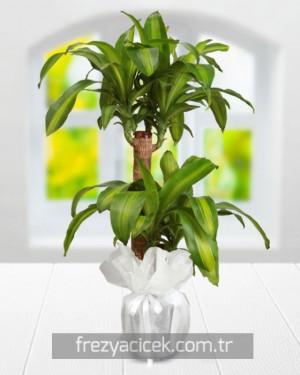 Yucca Massengena Saksı Bitkisi