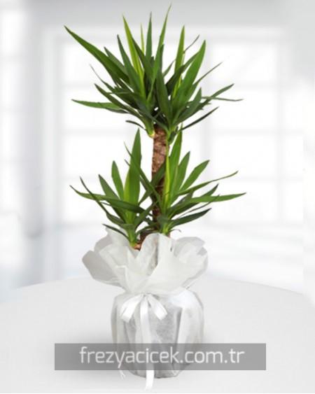 İkili Yucca Saksı Çiçeği