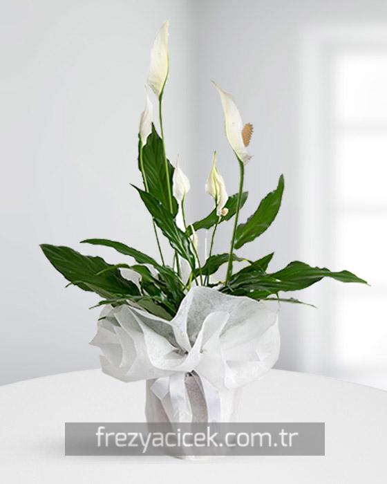 Spatifilyum Barış Çiçeği